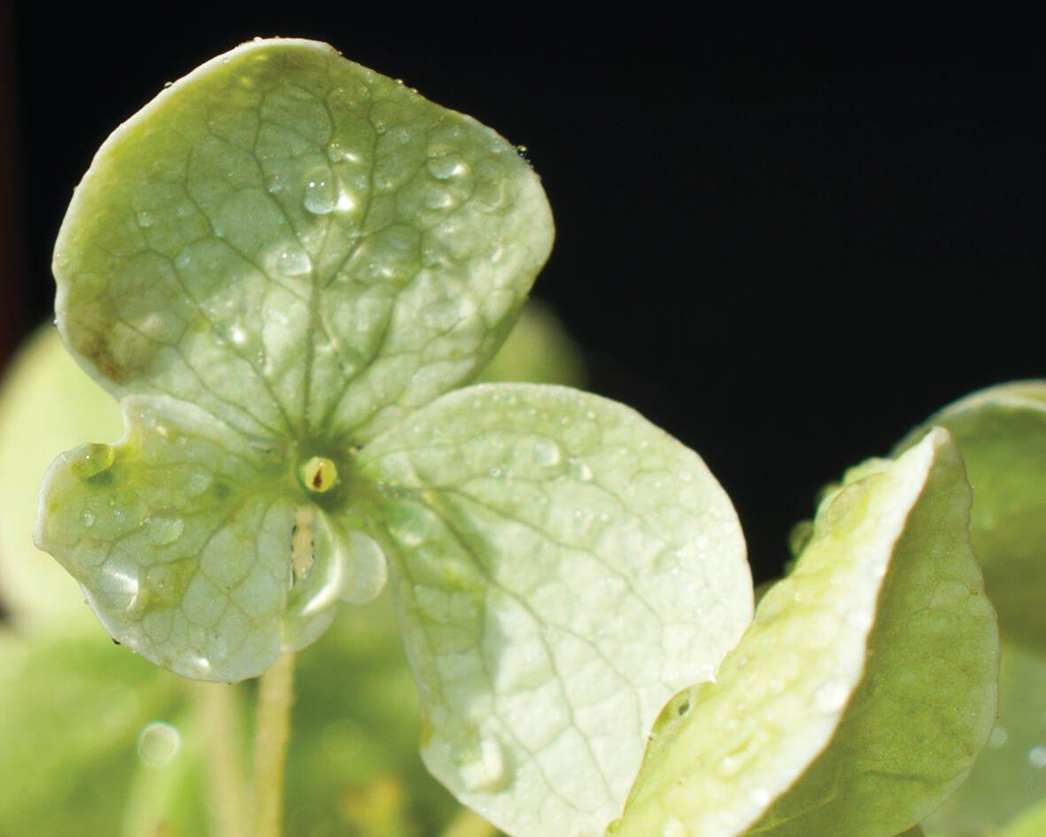 Hortensia petal, 4
